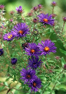 Aster novae-angliae (New England aster)